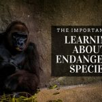 Large gorilla sitting with back to a rock wall, image used for Christian Tedrow blog on why it's important to learn about endangered animals
