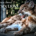 Mountain lion cougar reclining with its mouth open, image used for Christian Tedrow blog about mountain lions